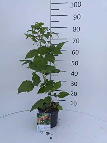 Späth Himbeere 'Autumn Bliss' Strauch winterhart Beerenobst süß-leicht säuerliche Frucht 1 Pflanze