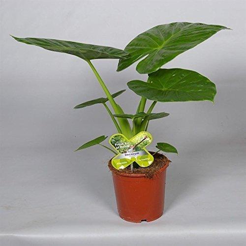 Alocasia Calidora, Alokasie, Zimmerpflanze,Höhe 65cm+/-