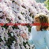 Pinkdose 100 Clematis bonsai Clematis montana Mayleen bonsai rosa Vine fiori delle piante bonsai viti rampicanti piante rampicanti