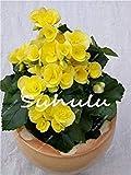 Fash Lady 100 Stücke Bonsai Begonie Samen Hybrida Voss Laternen Blumen Begonie Malus Spectabilis Chinesische Dekorative Bonsai Garten Blumen 1