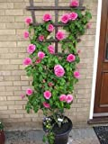 #1: Greenly Pink Climbing Rose Flower Seeds All Season - 20 Seeds