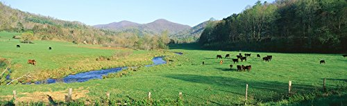 panoramic-images-cattle-grazing-in-green-field-with-stream-photo-print-6858-x-2286-cm