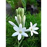 Indian Gardening Single Polianthes Tuberosa Single Flowering Tuberose Bulbs 5 Bulbs