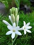 #10: Indian Gardening Single Polianthes Tuberosa Single Flowering Tuberose Bulbs 5 Bulbs