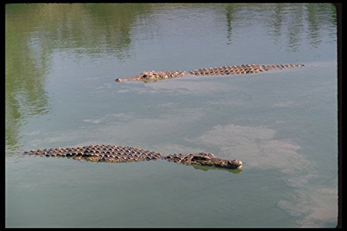 416004 Nile Crocodiles A4 Photo Poster Print 10x8