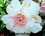 #5: adenium plant NO.7552