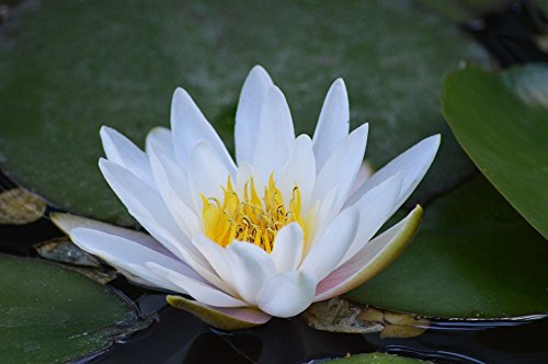 nymphaea-denver-water-lily-large-double-petaled-yellow-flowers-very-easy-care-and-fully-hardy-provid