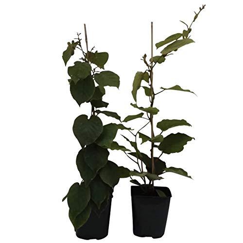 Grüner Garten Shop Kiwi, 2er Set: 1 Hayward und 1 Atlas als Bestäuber, Actinidia arguta ca. 60-80 cm, im 2-3 Liter Topf