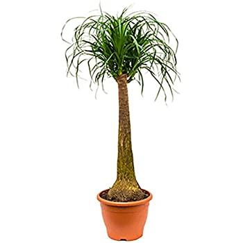Elefantenfuss robuste zimmerpflanze f r halbschatten beaucarnea recurvata 1 pflanze 80 100 cm im - Robuste zimmerpflanze ...