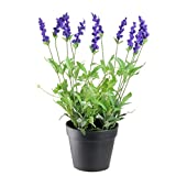 #10: Ojorey Lavendra Fresh Indoor & Outdoor Flower Plant with Pot For Office and Home