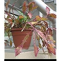 EUPHORBIA GORGONIS @@ exotic rare succulent cactus cacti plant semi seed 5 SEEDS