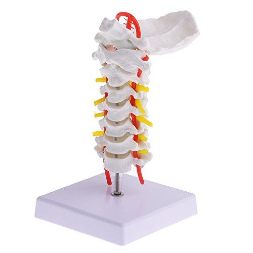 Gazechimp 1 Stück Menschliches Halswirbel Modell mit Basis, aus PVC-Material, Medizinisches Modell für Schule Lehrmittel