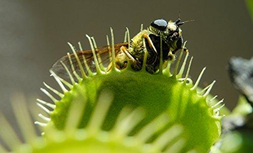 Venusfliegenfalle muscipula -