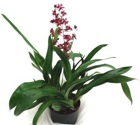 Mühlan Orchideen 1949