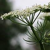 SeeKay Cumin 'Cuminum cyminum' Min 500 seeds