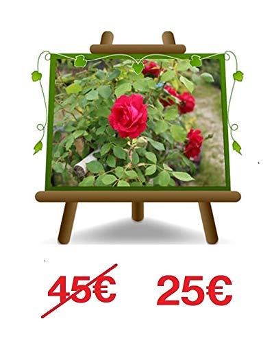 Rose d'escalade couleur rouge géranium - Petite fleur sur pot de 30 - max 100 cm - 5 ans