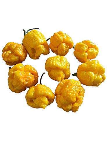 """Trinidad Scorpion Moruga Yellow 10 Samen *Messwerte bis 2.000.000 Scoville* \""""\""""Ist doppelt so scharf wie Bhut-Jolokia\""""\"""" Von \'\'Samenchilishop\'\'"""