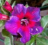 Wüstenrose (Adenium obesum) 5 Samen Kaleidoscope