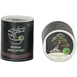 Seedeo Bonsai Geschenk - Set Japanische Schwarzkiefer (Pinus thunbergii)