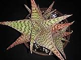 PLAT FIRM GERMINATIONSAMEN: Aloe 'Delta Dawn K. Griffin Hybrid seltene exotische saftig