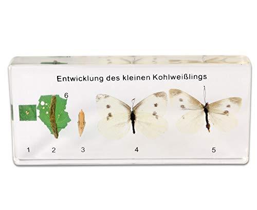 Der Lebenszyklus eines Schmetterling, Entwicklungsstadien in transparentem Kunstglasblock - Biologieunterricht Biologie Schule Lernen Lehrmittel Lernmittel Zoologie Metamorphose Unterricht