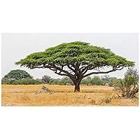 20x Acacia Senegal-Gummiarabikumbaum Akazie Baum Garten Pflanze ID51