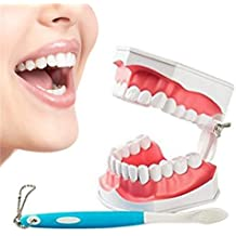 Gracioso Modelo de dientes modelo de enseñanza de educación dental para adultos con dientes inferiores y
