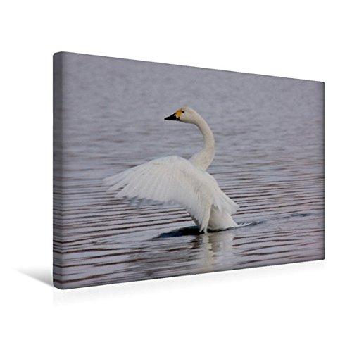 Premium Textil-Leinwand 45 cm x 30 cm quer, Zwergschwan | Wandbild, Bild auf Keilrahmen, Fertigbild auf echter Leinwand, Leinwanddruck (CALVENDO Tiere)