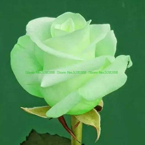 Bloom Green Co. bonsaïs 150 pcs/paquet Rainbow Rose Holland Flower amant cadeau RARE 25 exotiques couleurs au choix jardin d'accueil: 23