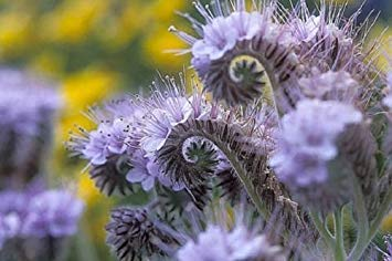 PLAT FIRM Lacy Phacelia 250 Samen Lange Blooming Light Blue Purple Glocke haped Blume (Lacy Phacelia Samen)