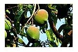 Mangobaum Mangifera indica Mango Pflanze 15-20cm Obstbaum Obstpflanze Rarität