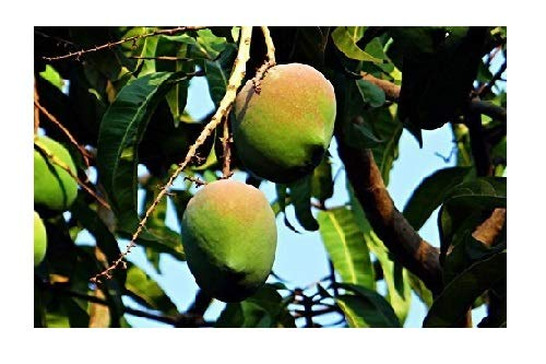 Mangobaum Mangifera indica Mango Pflanze 20cm süße essbare Früchte sehr selten