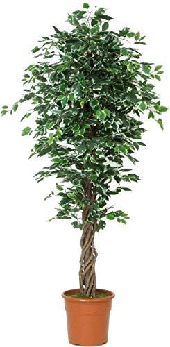 Ficus elegance benjamin variegato - albero artificiale con tronco vero liana - alto 200 cm