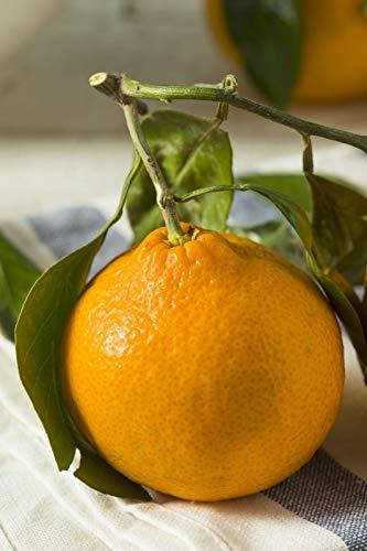 Bio-Saatgut Nicht nur Pflanzen: 1 Glon (4in CitraPot): Xie Shan (Satsuma Mandarin) Obst (Cant Schiff AZ CA LA TX) mit der Faehre -