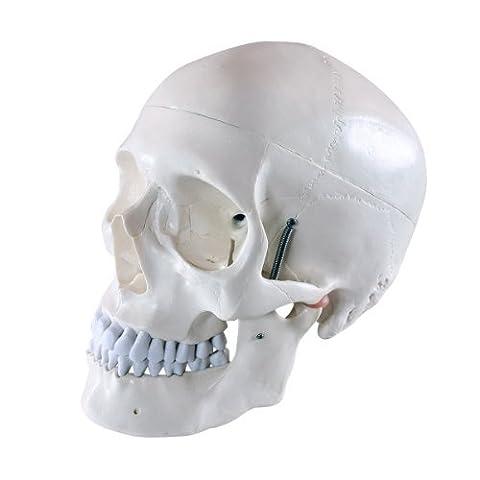 S24.2103 Schädel - Modell für Anatomieunterricht,