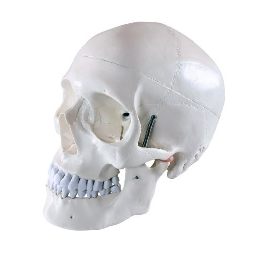 Modell für Anatomieunterricht, 3-teilig (Schädel)