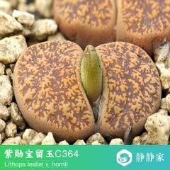 Go Garden 100% frais 50pcs réel lithops cactus succulent Semillas ~ Pierres vivantes (S25-48): Gris clair