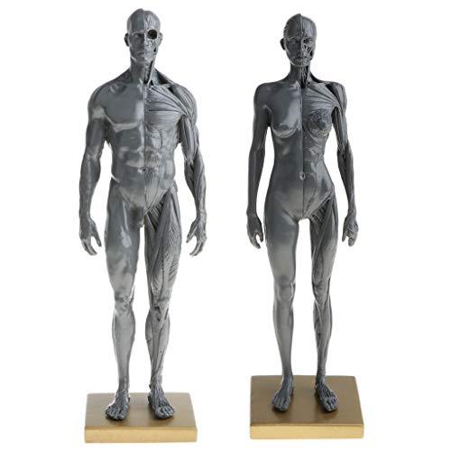 Anatomie Figuren Modell muskelsystem muskel Lernmittel Kunstbedarf Manga Comic (frau)