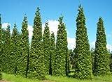 Thuja plicata - Riesen-Lebensbaum - 15 Samen