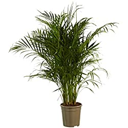 BOTANICLY | Zimmerpflanze | Dypsis lutescens | 125 cm