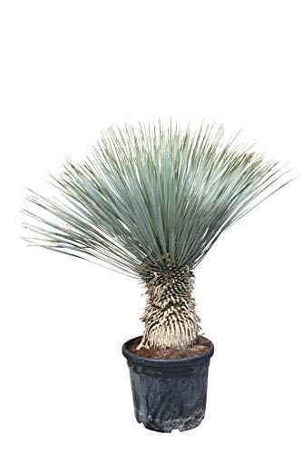 Yucca Rostrata - Stammhöhe 30/40cm - Gesamthöhe 130cm - Winterhart