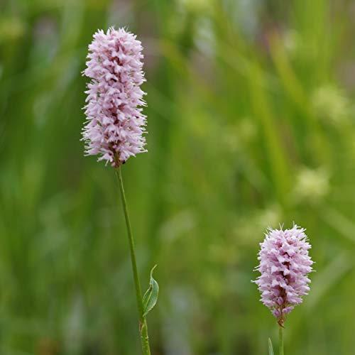 Blumixx Stauden Bistorta officinalis 'Superbum' - Wiesen-Knöterich, im 0,5 Liter Topf, hellrosa blühend