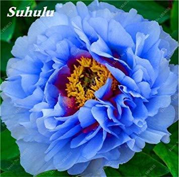 Nouveau! 10 Pcs Pivoine Graines Paeonia suffruticosa Andrews Mix Couleurs Indoor Bonsai fleur pour jardin des plantes Pivoine Graines de fleurs 6