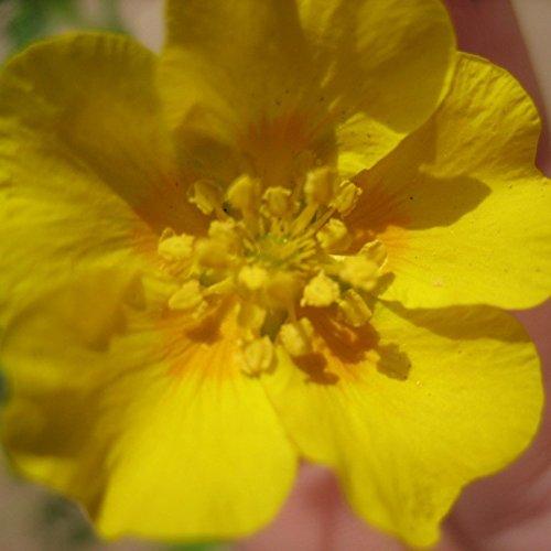Gold- Fingerkraut, Potentilla aurea, goldgelbe Blüte im Mai bis Juli, Staude im 0,5 Liter Topf