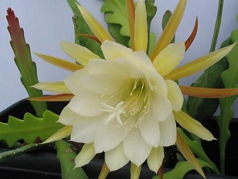Epiphyllum crenatum forma - gekerbte Orchideen-Kaktus - 10 Samen