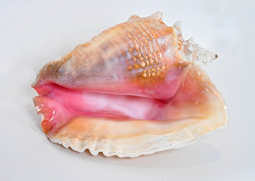 "Nautical Strand Decor Box Jumbo Große Bahama Queen Conch Seashell (Rosa)–Bahamas Pink Conch Shell–22,9cm-10"""