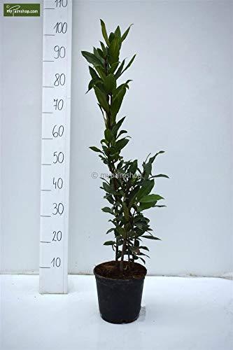 Echter Lorbeerbaum - Laurus nobilis - verschiedene Größen (80-100cm - Topf Ø 18cm)