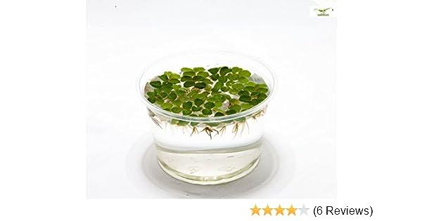 Salvinia natans 10 x Büschelfarn Schwimmpflanze Teich