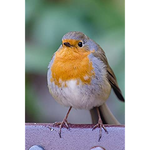 Plump Robin Redbreast Bird Journal: 150 Page Lined Notebook/Diary - Robin Feeder