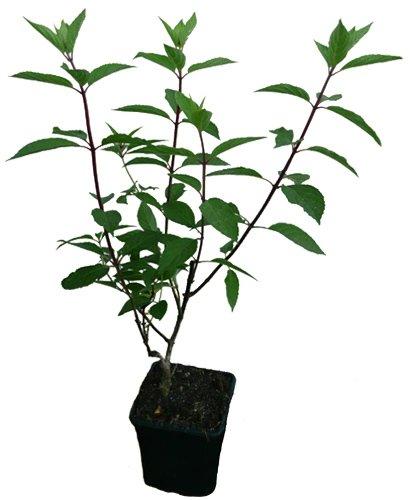 Rispenhortensie - PINKY WINKY - Pflanze Hortensie Neuheit